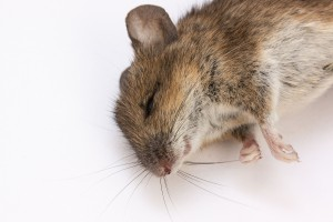 mouse-350063_1280