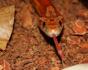 corn-snake-545726_960_720