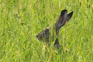 hare-1593620_1280